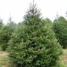 Ель обыкновенная Picea abies Tompa