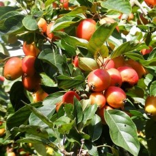 Яблоня декоративная Джон Дауни