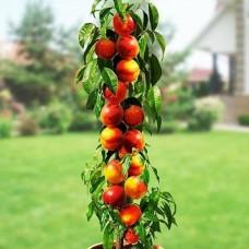 Нектарин Рубис (колоновидный)