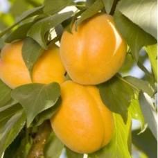 Слива- абрикос Априум колоновидная
